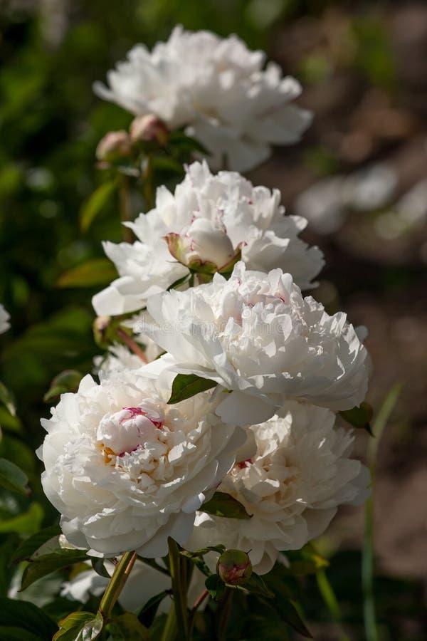 Άσπρα peonies στον κήπο στοκ εικόνα