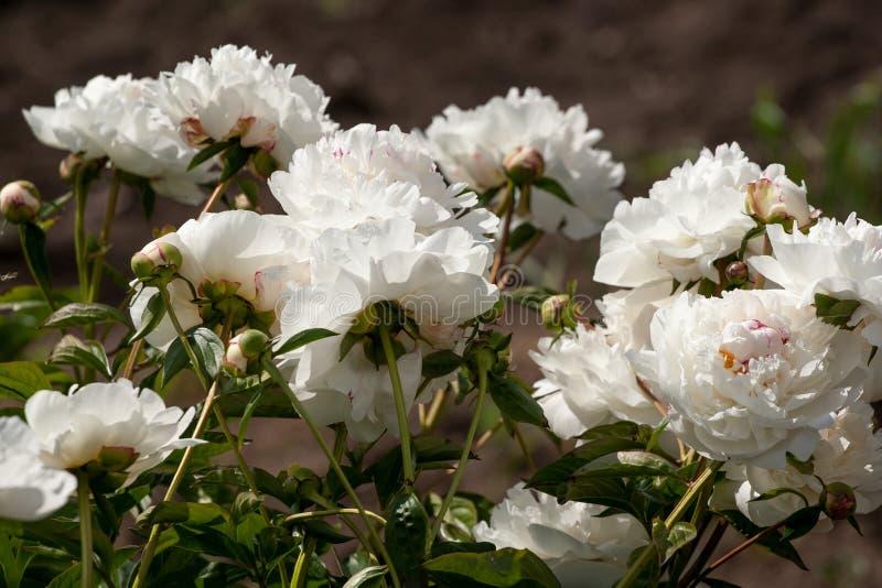 Άσπρα peonies στον κήπο στοκ φωτογραφίες