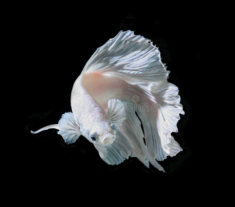 Άσπρα Platt ψάρια πάλης λευκόχρυσου σιαμέζα Άσπρο σιαμέζο fighti στοκ φωτογραφίες
