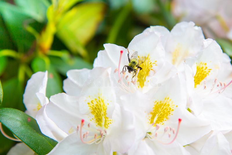Άσπρα Rhododendron λουλούδια που ανθίζουν με τη μέλισσα μελιού στοκ εικόνα
