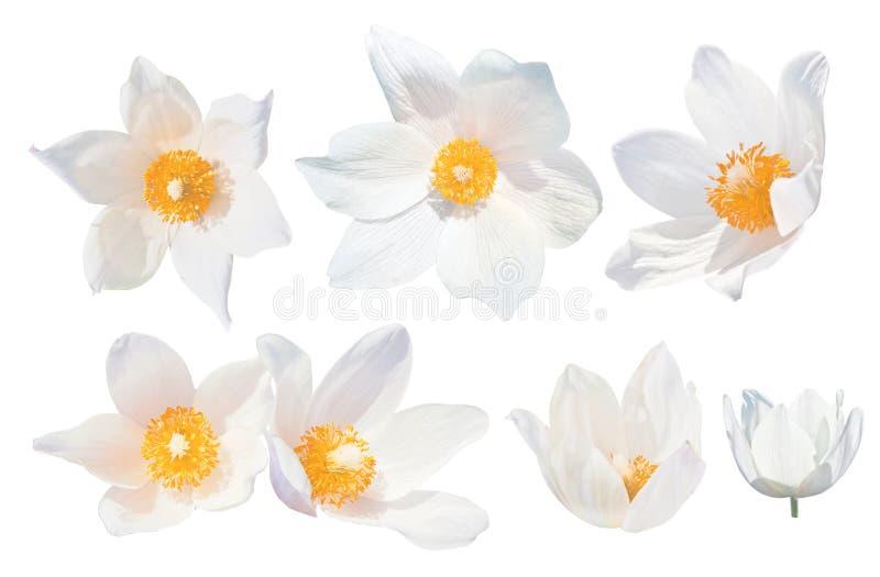 Άσπρα snowdrops Pulsatilla patens που απομονώνεται στο άσπρο υπόβαθρο Σύνολο άσπρων snowdrops Τα λουλούδια άνοιξη αυξάνονται σε δ στοκ φωτογραφίες με δικαίωμα ελεύθερης χρήσης