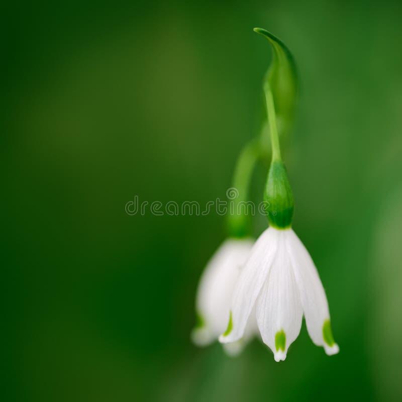 Άσπρα Snowflake ανοίξεων λουλούδια στοκ εικόνες