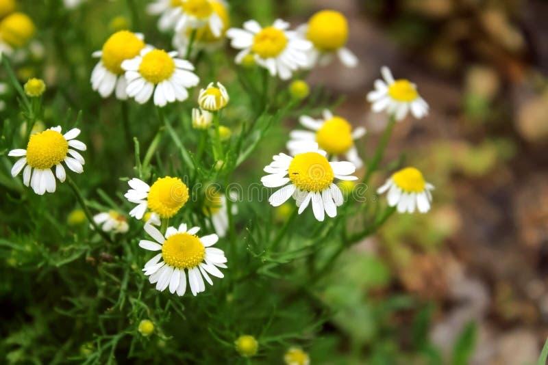 Άσπρες μαργαρίτες Κίτρινα και άσπρα λουλούδια στοκ φωτογραφίες