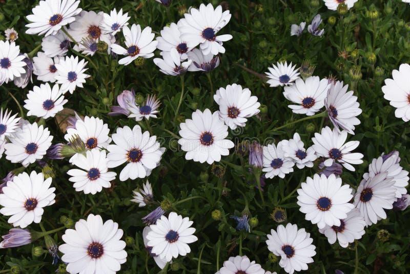 άσπρες μαργαρίτες με το μπλε το καλοκαίρι στοκ φωτογραφίες