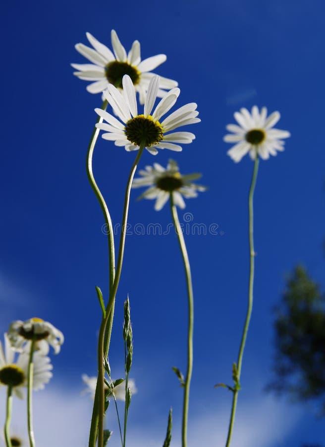 Άσπρες μαργαρίτες σε ένα υπόβαθρο του μπλε ουρανού στοκ εικόνες