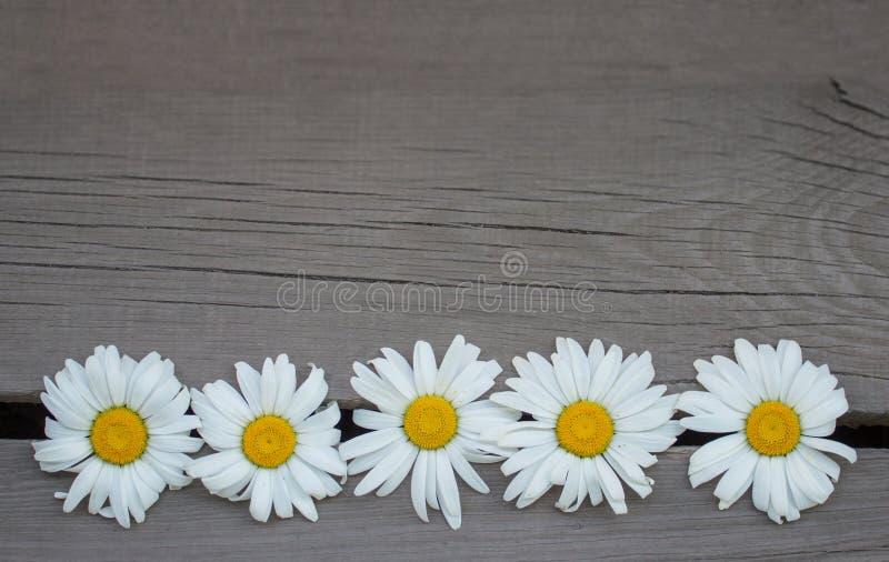 Άσπρες μαργαρίτες σε μια ξύλινη τοπ άποψη υποβάθρου διάστημα αντιγράφων στοκ φωτογραφία