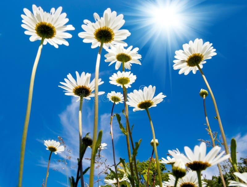Άσπρες μαργαρίτες στο μπλε ουρανό στοκ φωτογραφία με δικαίωμα ελεύθερης χρήσης