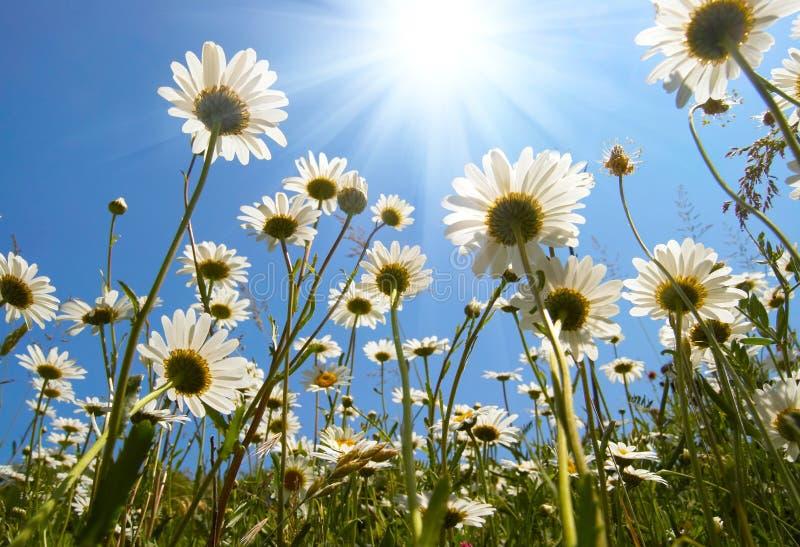 Άσπρες μαργαρίτες στο μπλε ουρανό στοκ εικόνες με δικαίωμα ελεύθερης χρήσης
