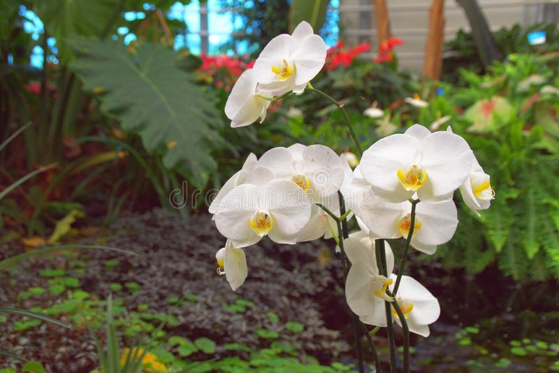 Άσπρες ορχιδέες στον τροπικό κήπο στοκ φωτογραφία