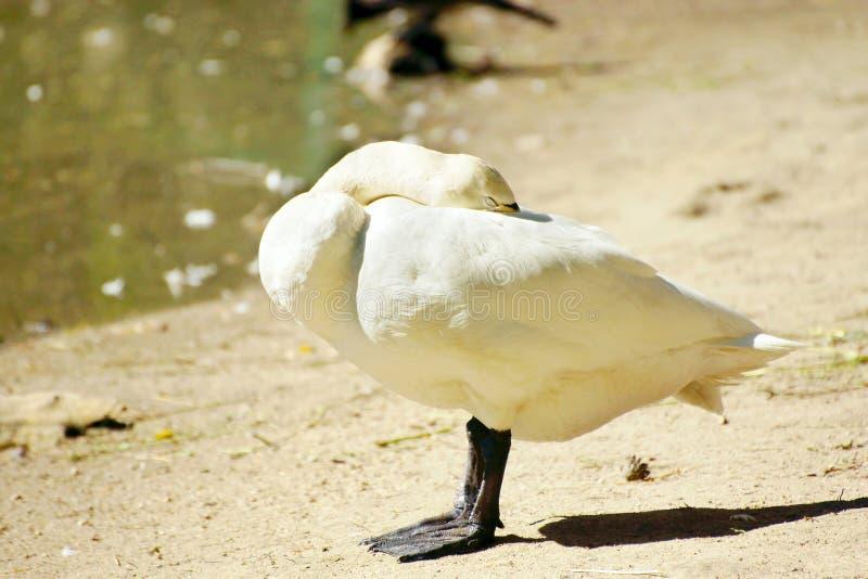 Άσπρες στάσεις χήνων σε μια ακτή και τις δορές λιμνών το κεφάλι του στοκ εικόνα με δικαίωμα ελεύθερης χρήσης
