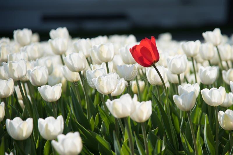 Άσπρες τουλίπες και ένα κόκκινο στοκ εικόνα