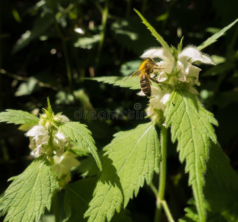 Άσπρες Nettle λουλουδιών και μέλισσα μελιού στοκ εικόνα