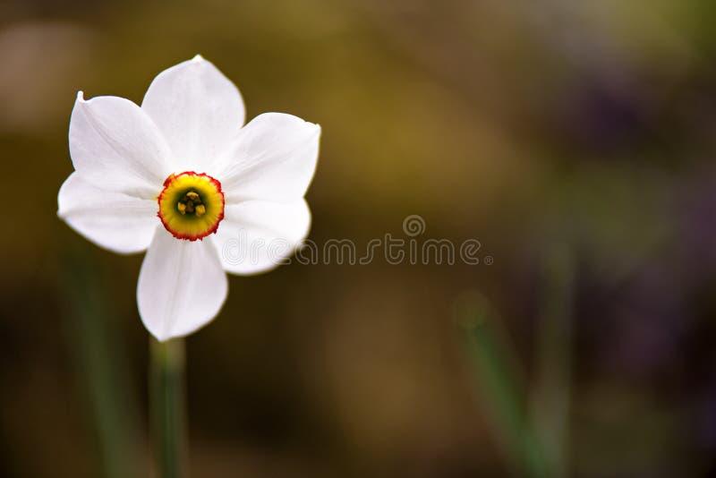 Άσπρη άνθηση λουλουδιών ναρκίσσων Ενιαίο λουλούδι daffodils στοκ φωτογραφίες με δικαίωμα ελεύθερης χρήσης
