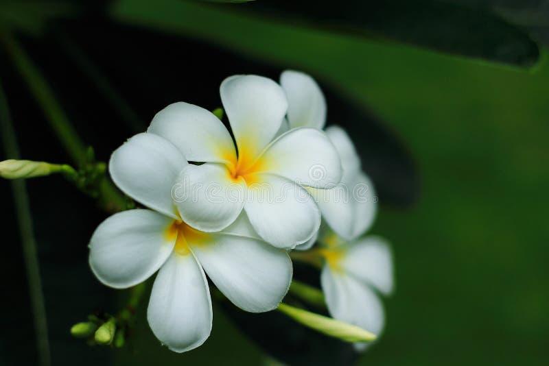 Άσπρη άνθιση λουλουδιών της Αλμερία στοκ φωτογραφίες με δικαίωμα ελεύθερης χρήσης