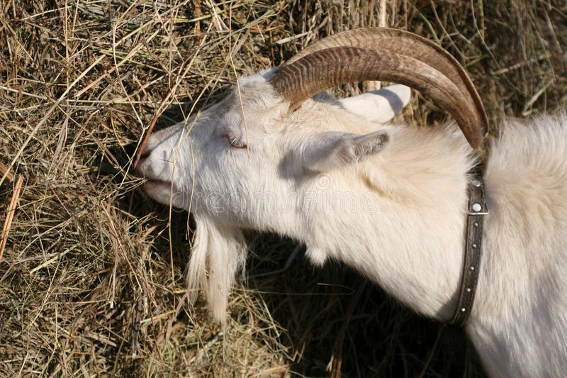 Άσπρη αίγα που τρώει το σανό από το σωρό στοκ φωτογραφία