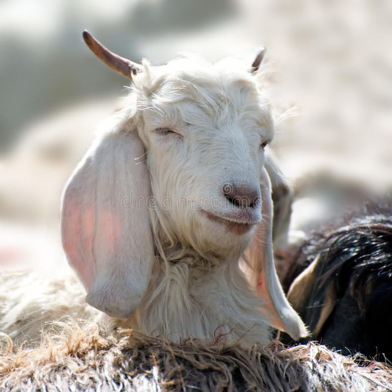 Άσπρη αίγα του Κασμίρ (pashmina) από την ινδική ορεινή περιοχή στοκ φωτογραφία με δικαίωμα ελεύθερης χρήσης