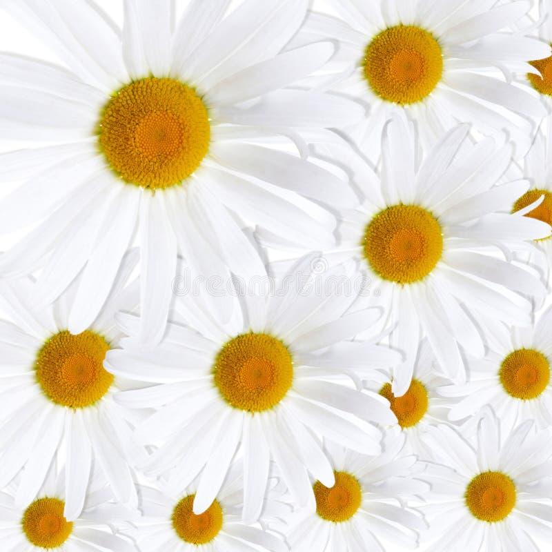 Άσπρη ανασκόπηση μαργαριτών στοκ εικόνες