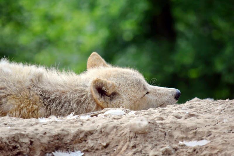 Άσπρη αρκτική κινηματογράφηση σε πρώτο πλάνο λύκων που βρίσκεται στο βράχο στοκ φωτογραφία με δικαίωμα ελεύθερης χρήσης