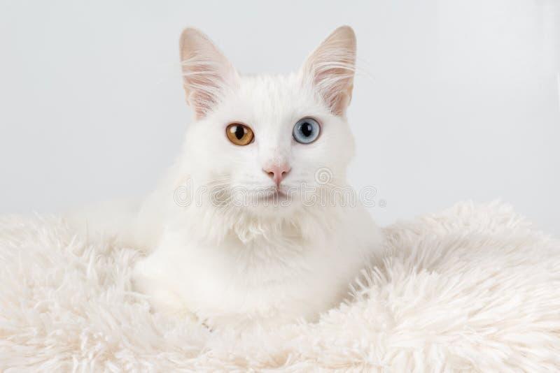 Άσπρη γάτα με τα διαφορετικά χρωματισμένα μάτια στοκ εικόνα με δικαίωμα ελεύθερης χρήσης