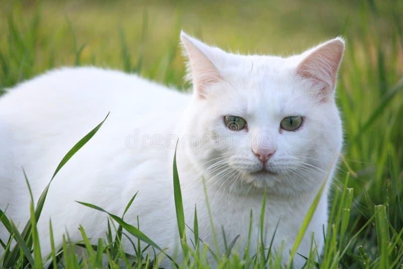 Άσπρη γάτα με την πράσινη κινηματογράφηση σε πρώτο πλάνο ματιών στοκ εικόνες