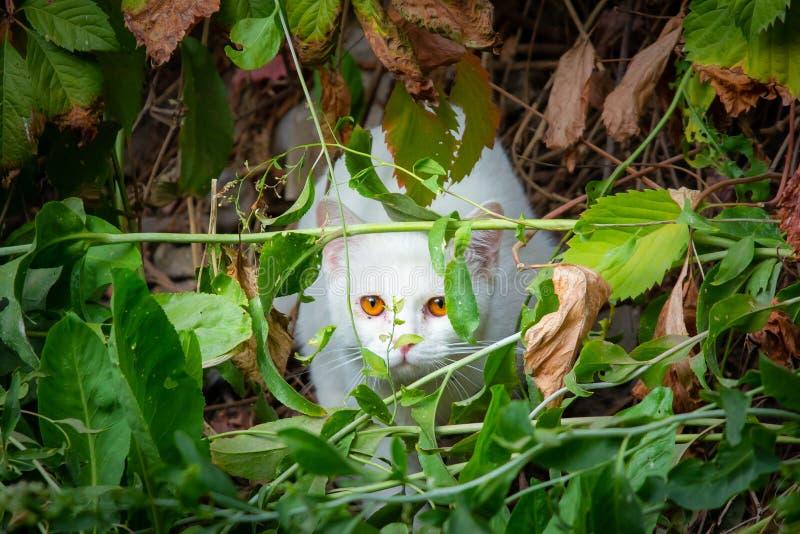 Άσπρη γάτα που κρυφοκοιτάζει μέσω του χαμόκλαδου, ενέδρα για το κυνήγι στοκ φωτογραφία