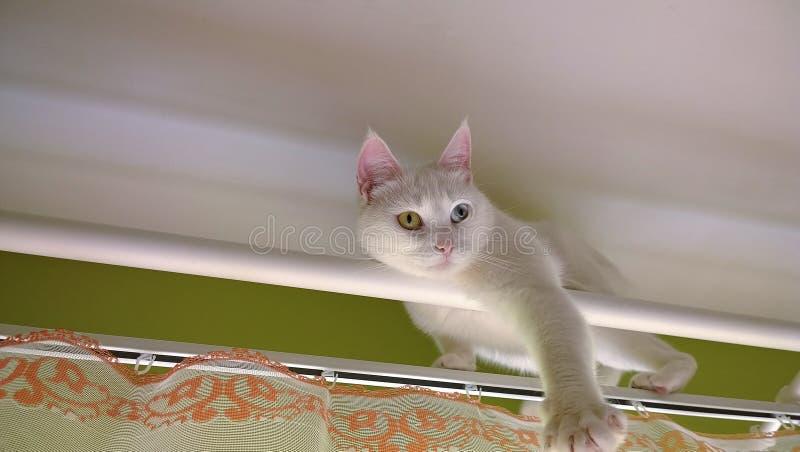 Άσπρη γάτα στη ράβδο κουρτινών στοκ φωτογραφίες με δικαίωμα ελεύθερης χρήσης