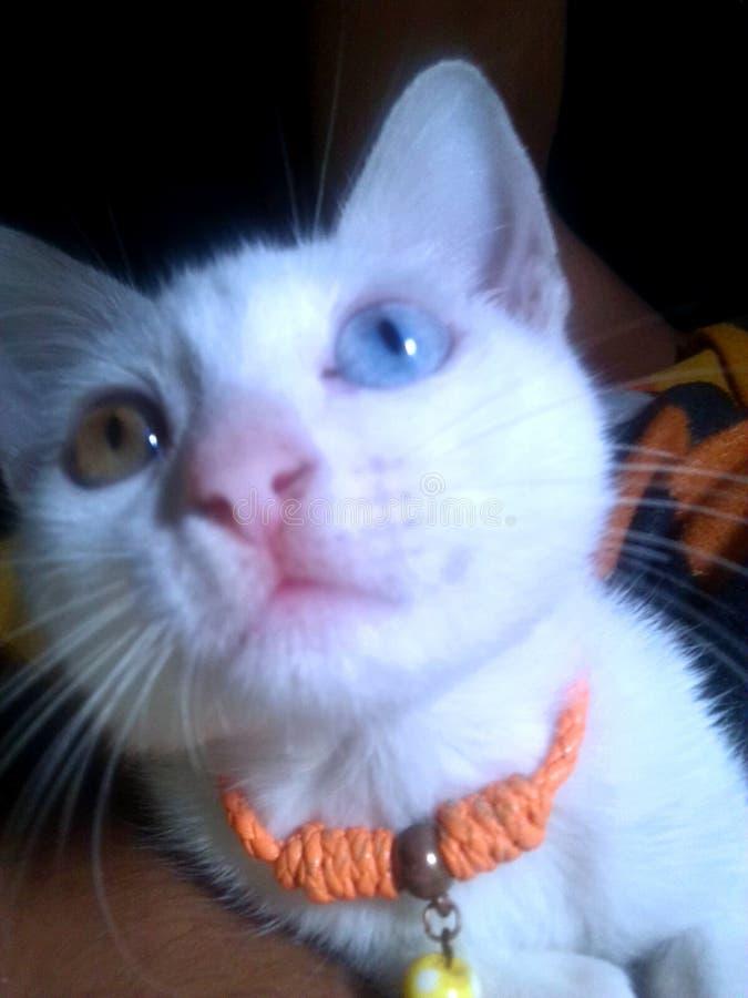 Άσπρη γάτα Heterochromic στοκ εικόνες με δικαίωμα ελεύθερης χρήσης