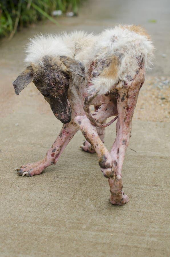 Άσπρη γούνα σκυλιών Scabies που αισθάνεται τον πόνο υπαίθριο στοκ εικόνες