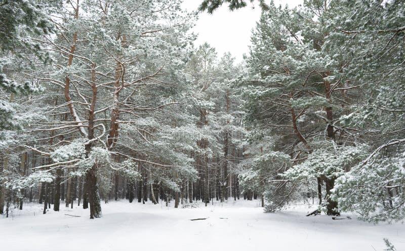 Άσπρη δασική σιωπή Snowless στο χειμερινό δάσος στοκ φωτογραφίες με δικαίωμα ελεύθερης χρήσης