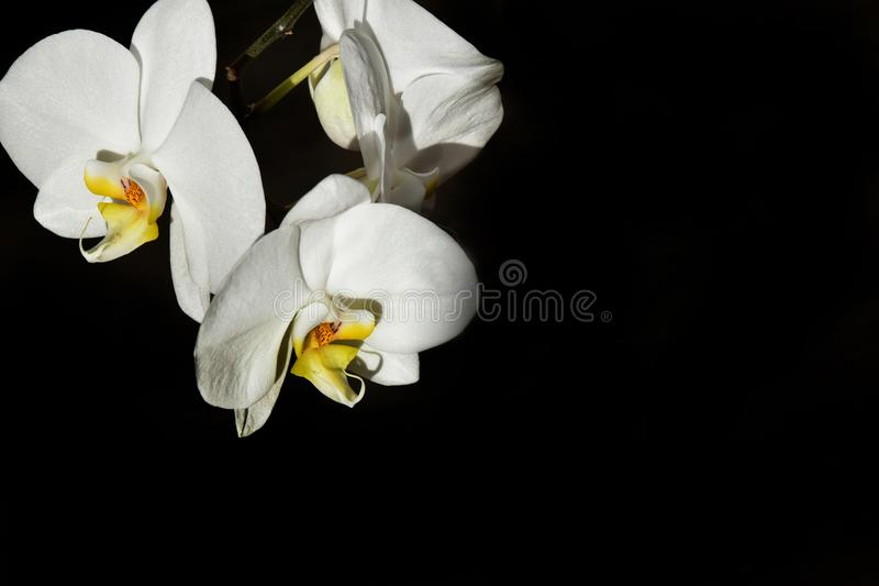Άσπρη εξωτική ορχιδέα σε ένα μαύρο υπόβαθρο το καλοκαίρι θερμό SU στοκ φωτογραφία με δικαίωμα ελεύθερης χρήσης