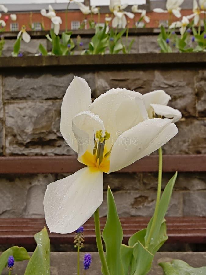 Άσπρη ευρεία ανοικτή τουλίπα με τις πτώσεις δροσιάς, εκλεκτική εστίαση στοκ εικόνα