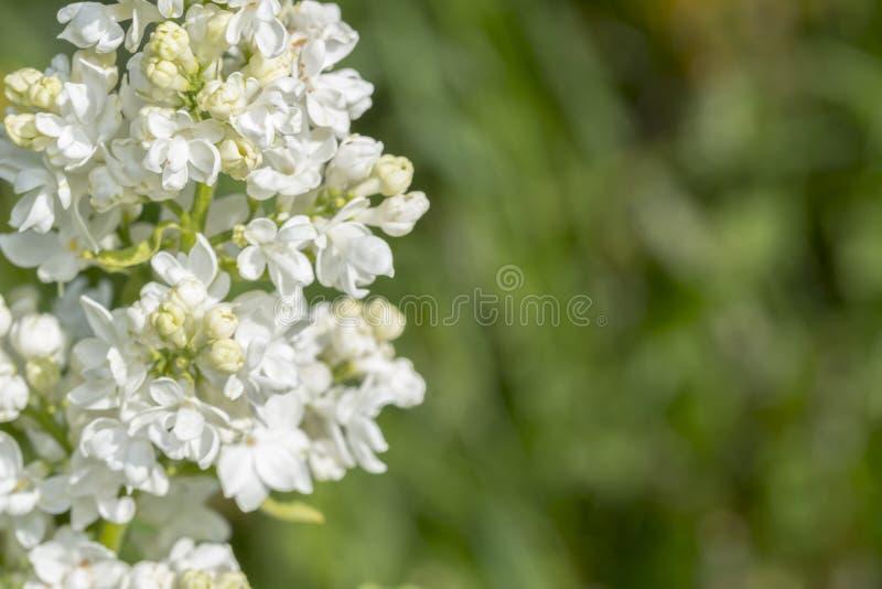 Άσπρη ιώδης επάνθιση που απομονώνεται, λουλούδια ανοίξεων, ανθίζοντας πασχαλιά στοκ εικόνες