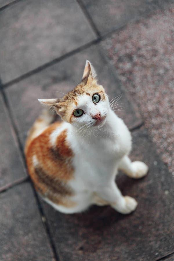 Άσπρη και καφετιά γάτα που ψάχνει τα τρόφιμα με να ικετεύσει τα μάτια στη Μαλαισία στοκ εικόνες με δικαίωμα ελεύθερης χρήσης