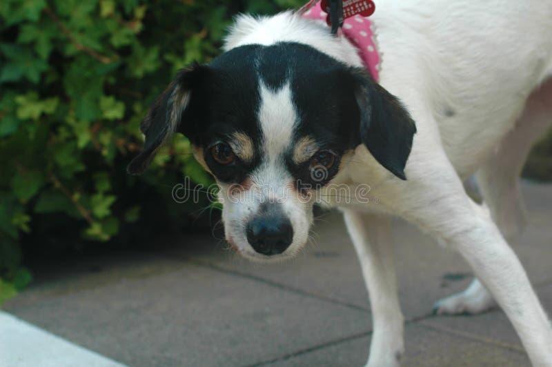 Άσπρη και μαύρη σύντομη ομαλή μαλλιαρή θηλυκή τοποθέτηση Chihuahua στοκ φωτογραφία