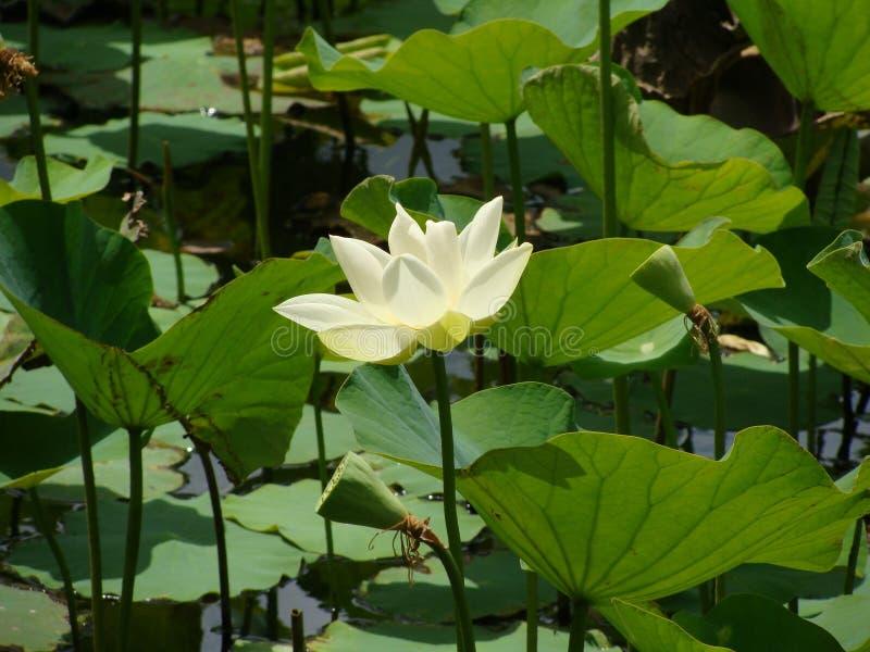 Άσπρη κινηματογράφηση σε πρώτο πλάνο Lotus στη λίμνη στοκ εικόνες
