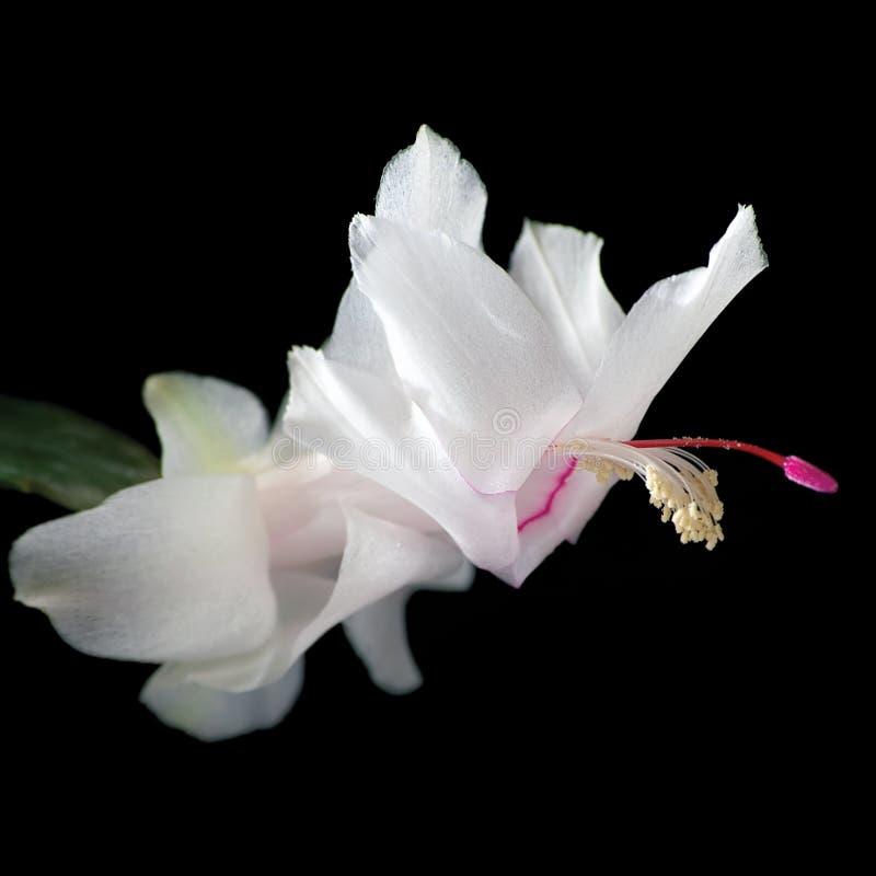Άσπρη κινηματογράφηση σε πρώτο πλάνο λουλουδιών κάκτων Χριστουγέννων Schlumbergera, ο απομονωμένος Μαύρος στοκ φωτογραφία με δικαίωμα ελεύθερης χρήσης