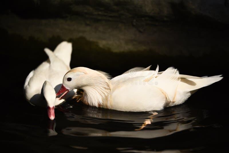Άσπρη κολύμβηση παπιών στοκ εικόνα με δικαίωμα ελεύθερης χρήσης