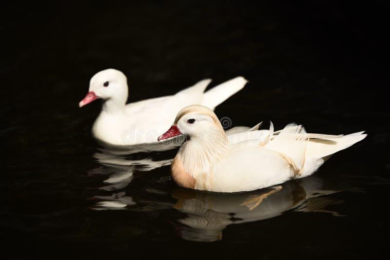 Άσπρη κολύμβηση παπιών στοκ φωτογραφίες με δικαίωμα ελεύθερης χρήσης