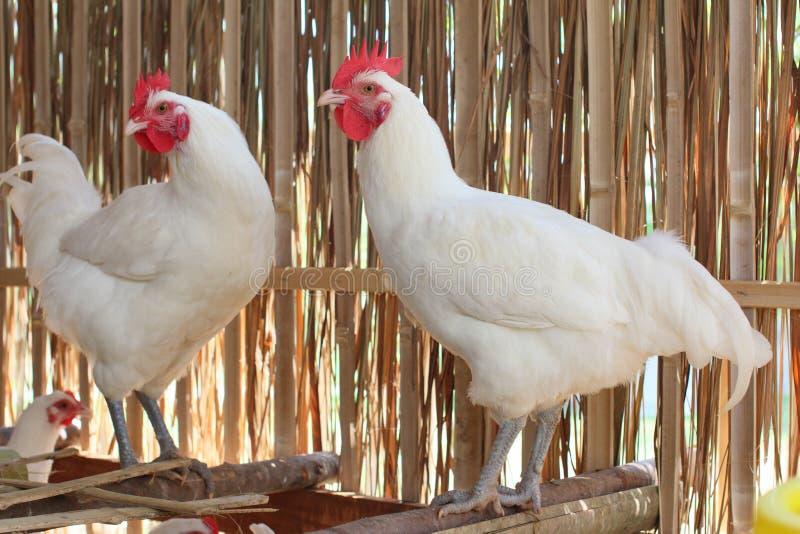 Άσπρη κότα στοκ εικόνες με δικαίωμα ελεύθερης χρήσης
