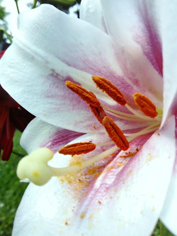 Άσπρη λεπτομέρεια λουλουδιών Lilium στοκ φωτογραφίες