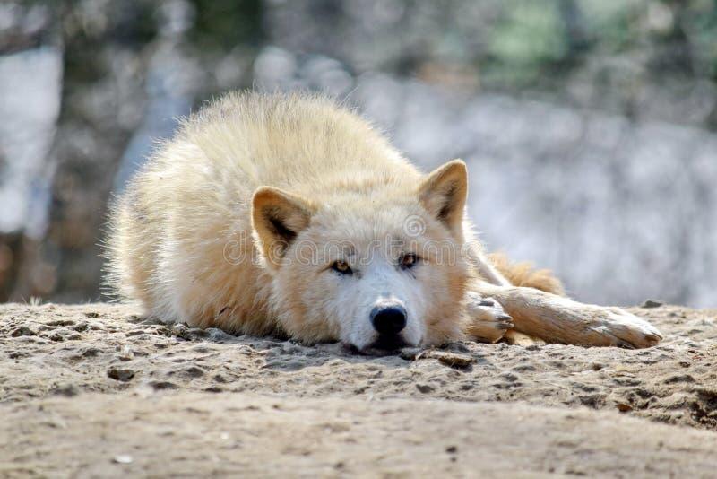 Άσπρη λύκων Canis Λύκου φωτογραφία αποθεμάτων πορτρέτου Arctos αρκτική στοκ φωτογραφία με δικαίωμα ελεύθερης χρήσης
