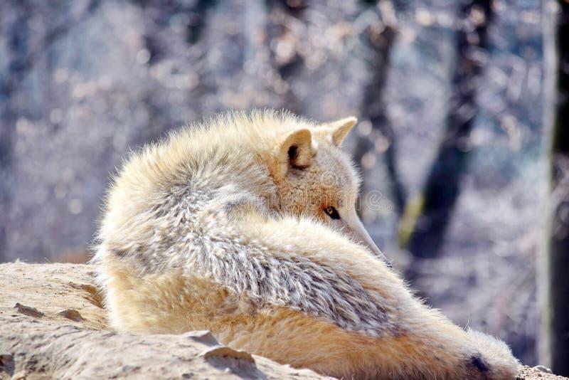 Άσπρη λύκων Canis Λύκου φωτογραφία αποθεμάτων πορτρέτου Arctos αρκτική στοκ φωτογραφίες