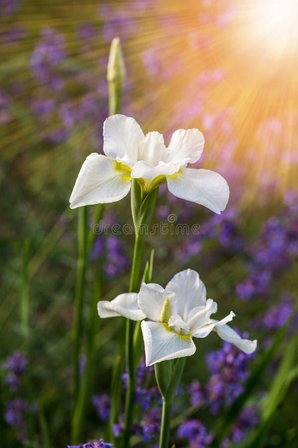Άσπρη μακροεντολή λουλουδιών της Iris στο φυσικό πράσινο υπόβαθρο Όμορφο άνθος ίριδων Ανθίζοντας θερινός κήπος στοκ φωτογραφίες