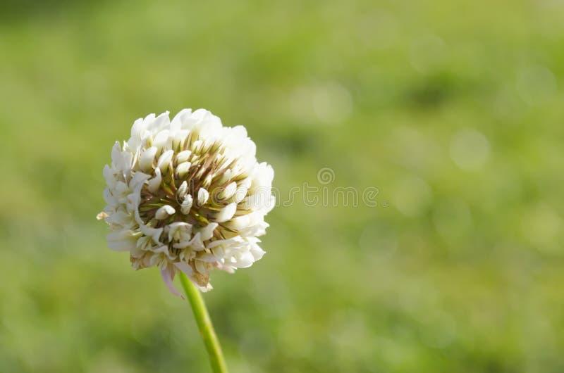 Άσπρη μακροεντολή πικραλίδων φύσης πράσινων εγκαταστάσεων λουλουδιών bokeh στοκ εικόνες με δικαίωμα ελεύθερης χρήσης