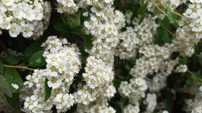 Άσπρη μικρή θερινή μέλισσα λουλουδιών στοκ φωτογραφίες