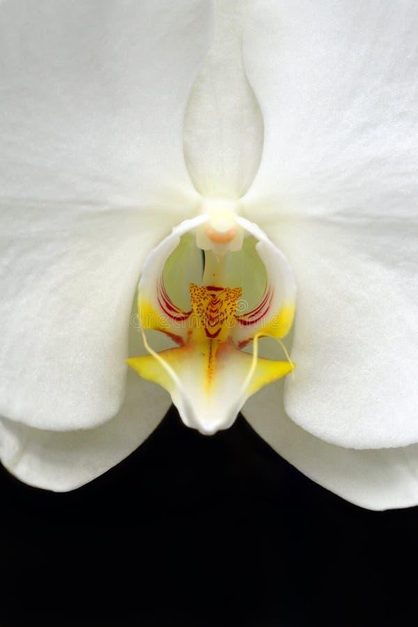 Άσπρη ορχιδέα στοκ φωτογραφίες