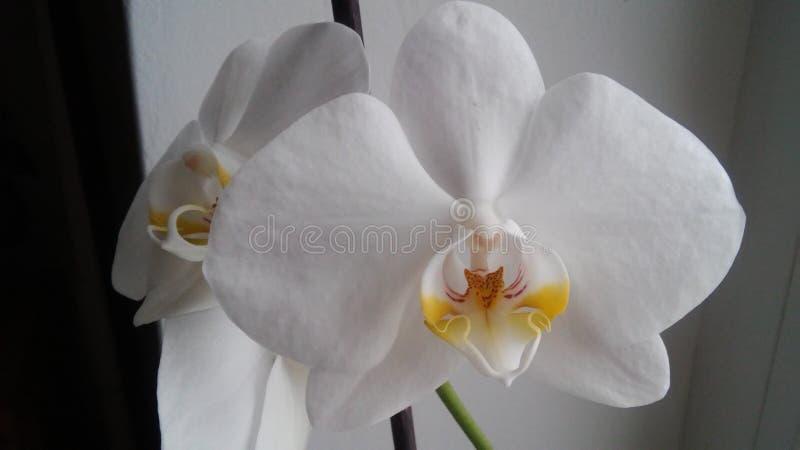 Άσπρη ορχιδέα στοκ φωτογραφία με δικαίωμα ελεύθερης χρήσης