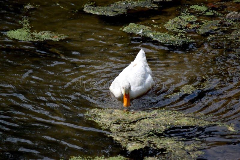 άσπρη πάπια στη λίμνη στοκ φωτογραφία με δικαίωμα ελεύθερης χρήσης