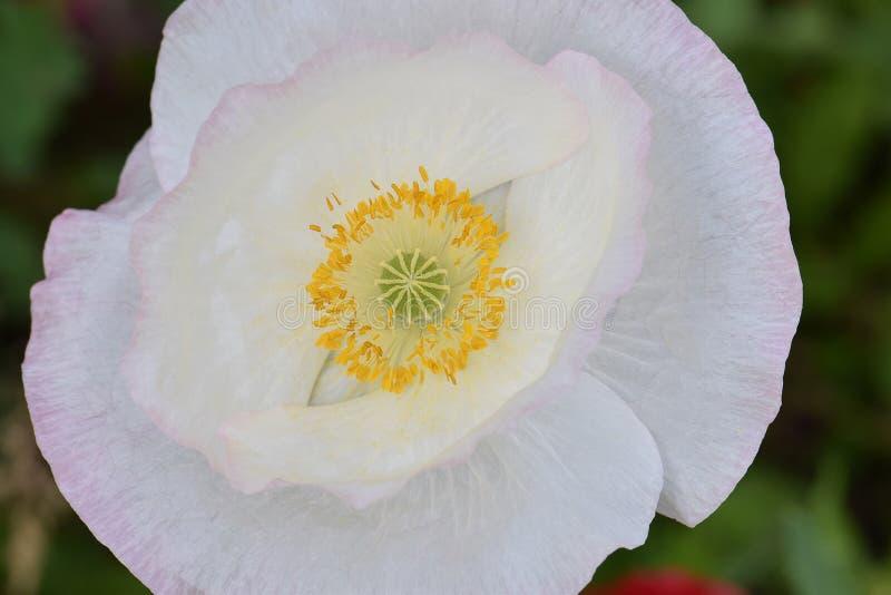 Άσπρη παπαρούνα Mandala 01 της Φλαμανδικής περιοχής ειρήνης στοκ φωτογραφίες