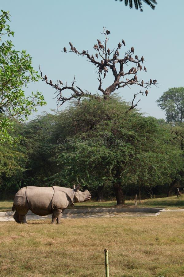 Άσπρη παραμονή ρινοκέρων στη χλόη, Ινδία στοκ εικόνες